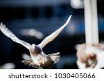isolated pigeon flying in the... | Shutterstock . vector #1030405066