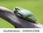 frogs  dumpy frog  tree frog ... | Shutterstock . vector #1030412506
