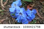 Small photo of ??Blue trumpet vine In Thailand, leaves are used as an antipathetic, as well as for detoxifying poisons.Several Thai herbal companies have started producing and exporting rang tea