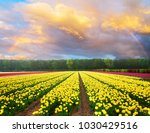 dutch yellow and violet tulip... | Shutterstock . vector #1030429516
