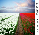 dutch red tulip fields | Shutterstock . vector #1030429522