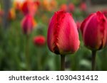 red tulips with fringed petals... | Shutterstock . vector #1030431412