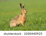 Stock photo wild european hare lepus europaeus close up on green background 1030440925
