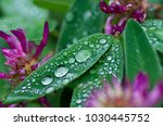 Water Droplets On A Red Clover...