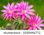 macro closeup of hot pink... | Shutterstock . vector #1030446772