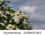 bridals breath spirea in full... | Shutterstock . vector #1030447462