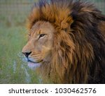 A Brown Lion Eyeing For Prey