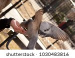 pigeons eating from a woman's... | Shutterstock . vector #1030483816