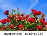 Stock photo red climbing roses 1030483852