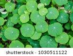 tropaeolum plants filling the... | Shutterstock . vector #1030511122