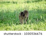 baboon baby in the serengeti  | Shutterstock . vector #1030536676