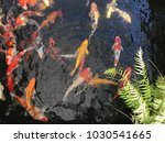 koi fish in the black pond with ...   Shutterstock . vector #1030541665