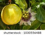 Yellow Maracuya Harvested  P....