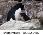 close up of a rockhopper... | Shutterstock . vector #1030652902