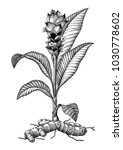 turmeric botanical hand drawing ... | Shutterstock .eps vector #1030778602