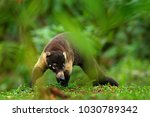 raccoon  procyon lotor  on the... | Shutterstock . vector #1030789342