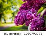 lilac blooms. a beautiful bunch ...   Shutterstock . vector #1030793776