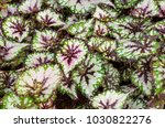 white  green and  purple leaves ... | Shutterstock . vector #1030822276