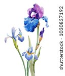 Watercolor Illustration Of Iris ...