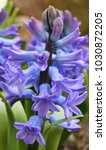 Hyacinths Blooming In The...