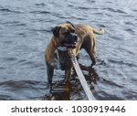 dog breeder boxer bathes in the ... | Shutterstock . vector #1030919446