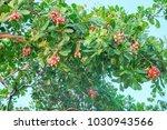 cashew is on the tree.cashew... | Shutterstock . vector #1030943566