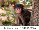 young chacma baboon sitting in... | Shutterstock . vector #1030952296
