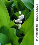 Small photo of Top view close up of a single raceme of the lily of the valley (Convallaria majalis) among green leaves