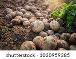 fresh organic potatoes in the... | Shutterstock . vector #1030959385