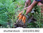Small photo of Hand of elderly man pulling ecologically grown carrots from the garden. Shallow depth of focus. Concept agro culture.
