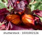 The Purple Iris Flower Bloom I...