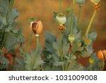 Dry Poppy Flower Bud