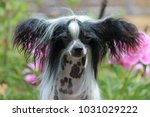 hairless chinese crested dog... | Shutterstock . vector #1031029222