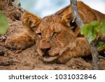 young lion cub relaxing on a... | Shutterstock . vector #1031032846