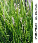 close up of blooming eleocharis ... | Shutterstock . vector #1031036038