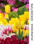 tulip flower. beautiful bouquet ...   Shutterstock . vector #1031067196