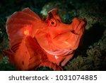 Paddle Flap Scorpionfish ...
