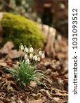 galanthus  snowdrop  galanthus... | Shutterstock . vector #1031093512