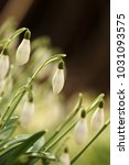 galanthus  snowdrop  galanthus... | Shutterstock . vector #1031093575