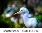 the cattle egret is a...   Shutterstock . vector #1031111842