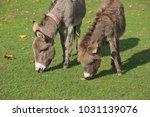 herd of free roaming semi feral ...   Shutterstock . vector #1031139076