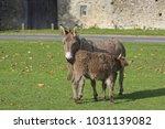 herd of free roaming semi feral ...   Shutterstock . vector #1031139082