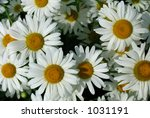 daisy background | Shutterstock . vector #1031191