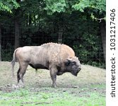 Small photo of Huge furry American buffalo. Horned buffalo.