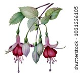 Watercolor Fuchsia Flower Sketch