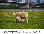 sheep on the meadow in front of ... | Shutterstock . vector #1031239216