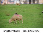 sheep on the meadow in front of ... | Shutterstock . vector #1031239222