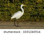 great egret walking in the sand ... | Shutterstock . vector #1031260516