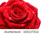 Beautiful Red Rose On White...