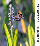 monarch butterfly isolated on... | Shutterstock . vector #1031285752
